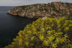 Euphorbia in un tratto di costa delle Egadi